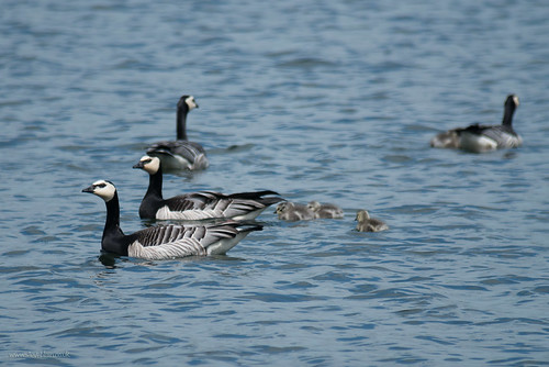 Barnacle Goose, Blunham Lake, 15th May 2015