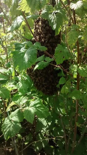 bee swarm June 15 1