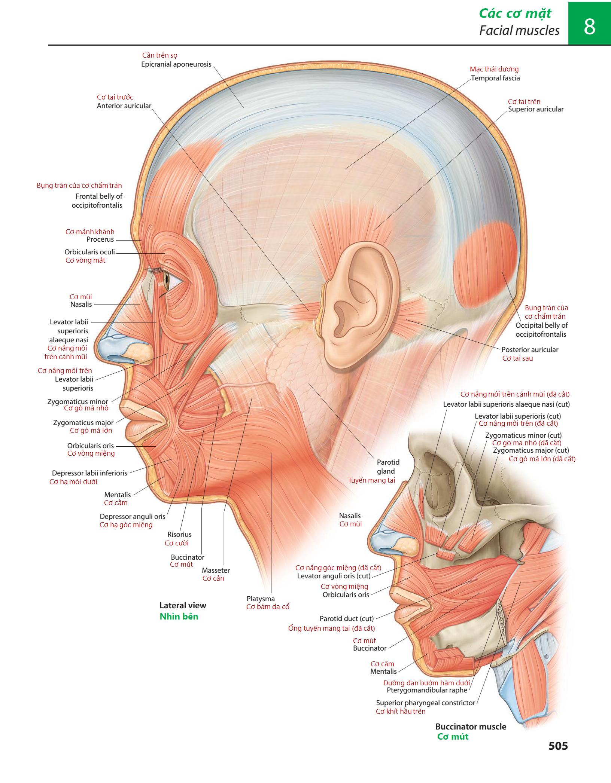 Richard L. Drake, A. Wayne Vogl, Adam W. M. Mitchell, Richard M. Tibbitts & Paul E. Richardson. Gray's Atlas of Anatomy, 2nd Edition. Churchill Livingstone, 2015: 505