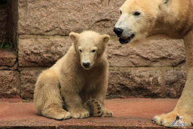 Eisbär Fiete im Zoo Rostock 23.05.2015 5