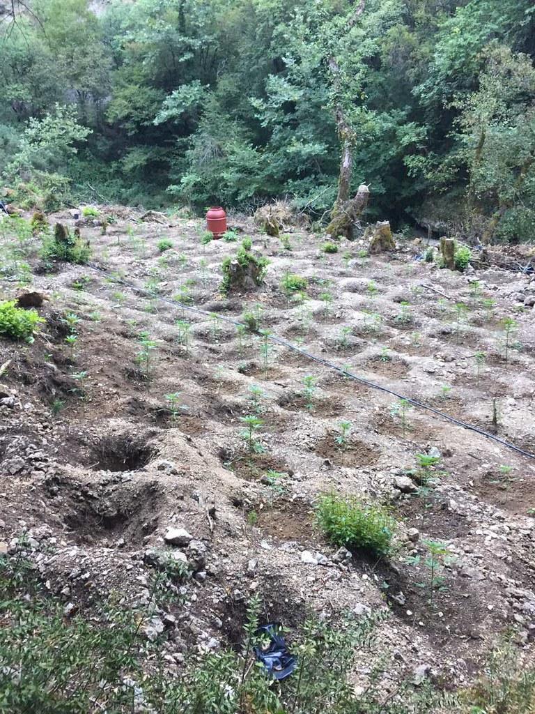 Ακόμη μία οργανωμένη καλλιέργεια - φυτεία με (685) δενδρύλλια κάνναβης, εντοπίστηκε σε δύσβατη παραποτάμια περιοχή του Δελβινακίου Ιωαννίνων