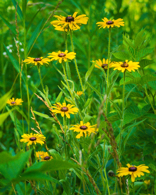Wildflowers, Flowers, Yellow, Green, Missouri