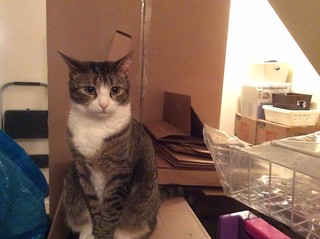 Amelia #cat amidst moving boxes | by brownpau
