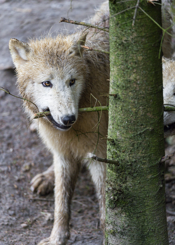 Young arctic wolf biting branch