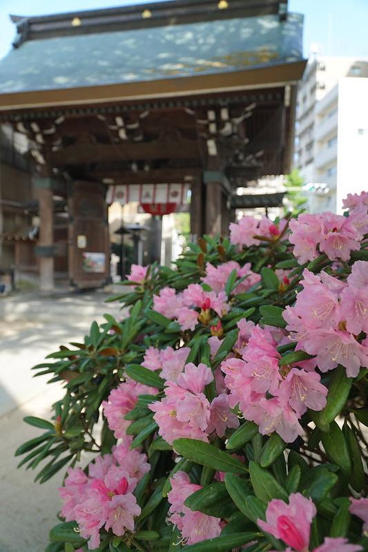 櫛田神社のシャクナゲ