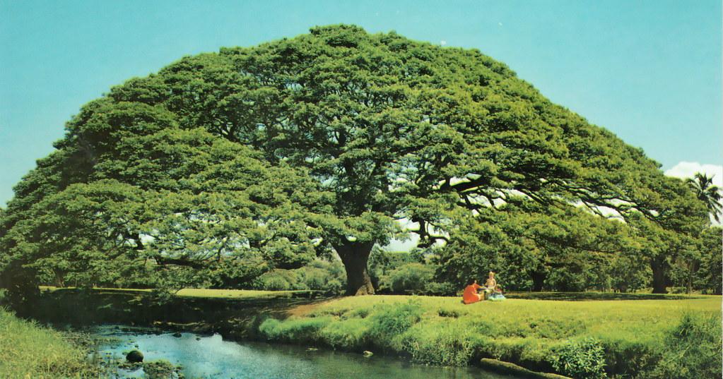 Hawaiian Monkey Pod Tree Albizia Saman Sometimes