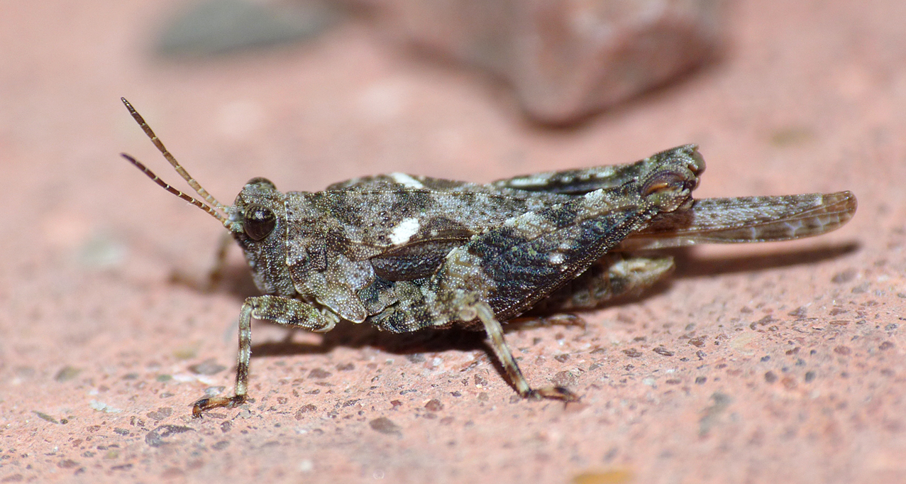Cepero's Groundhopper