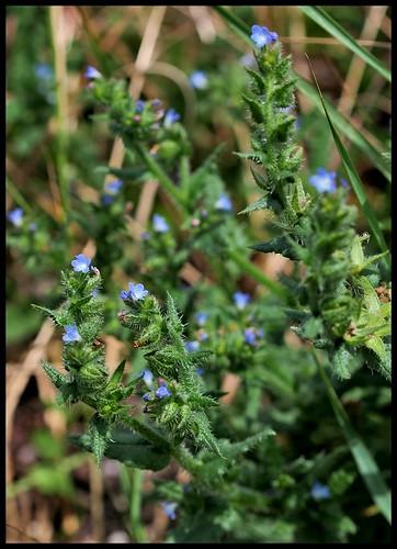 Anchusa arvensis (= Lycopsis arvensis) - buglosse des champs  27745092583_b562c4ffb6