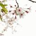 Sakura on the hill