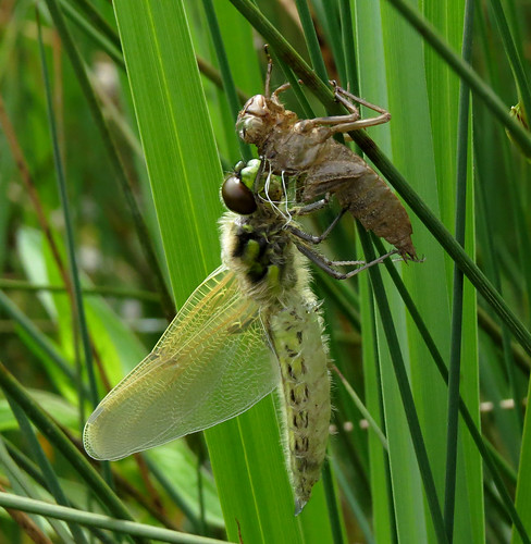 Four-spotted Chaser Libellula quadrimaculata Tophill Low NR, East Yorkshire May 2015