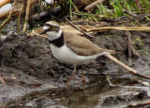 Little Ringed Plover Charadrius dubius Tophill Low NR, East Yorkshire May 2015