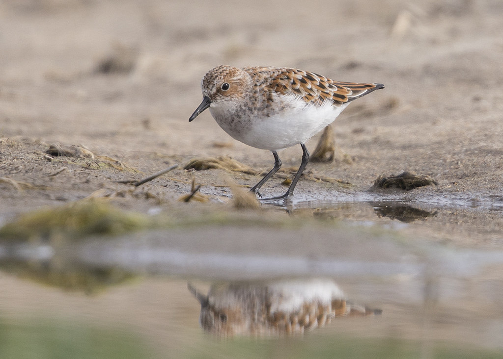 Little Stint 2015-05-16 at 06-21-48 (1)