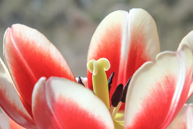 Tulip at heart