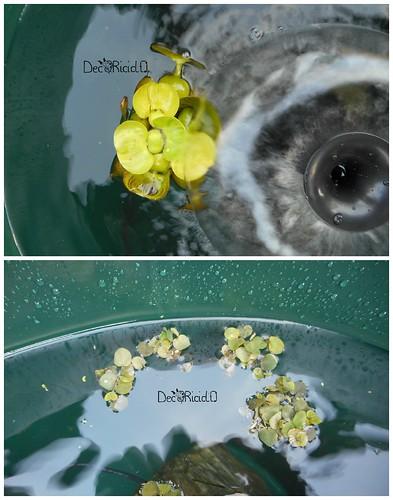 4. piante acquatiche galleggianti