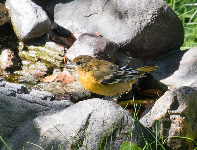 Oriole at birdbath