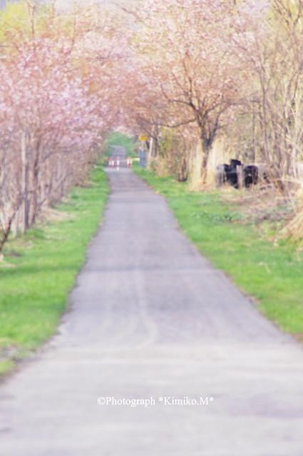 桜サイクリングロード