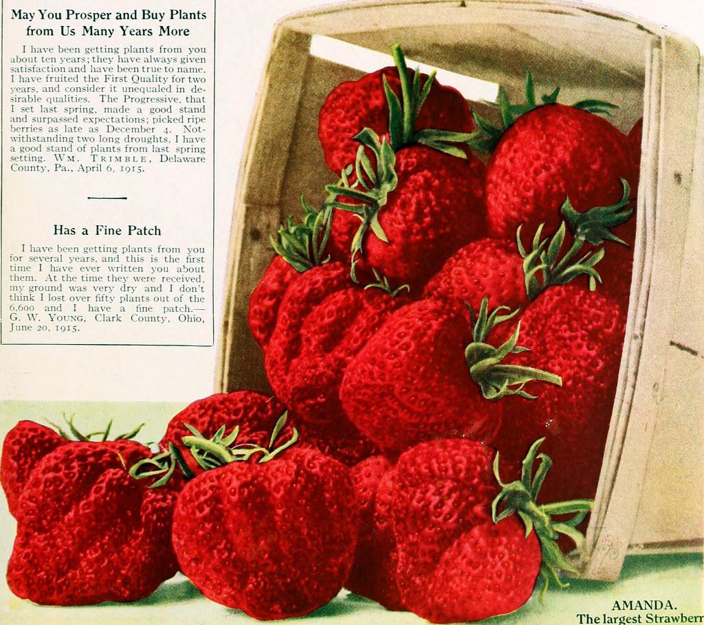 Types of Strawberries: Amanda | Edited Internet Archive imag ... Strawberry