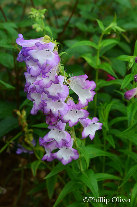 penstemon-violet-kissed