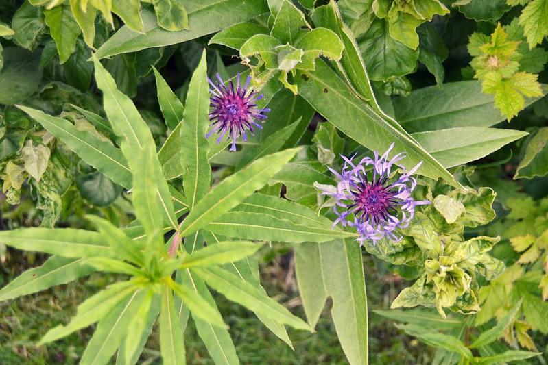 flores violetas 2