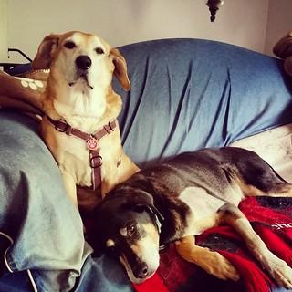Penny is wearing everyone out... #seniordog #ilovemydogs #houndmix #coonhoundmix #instadog #dogsofinstagram #muttstagram #lazydogs #dogstagram