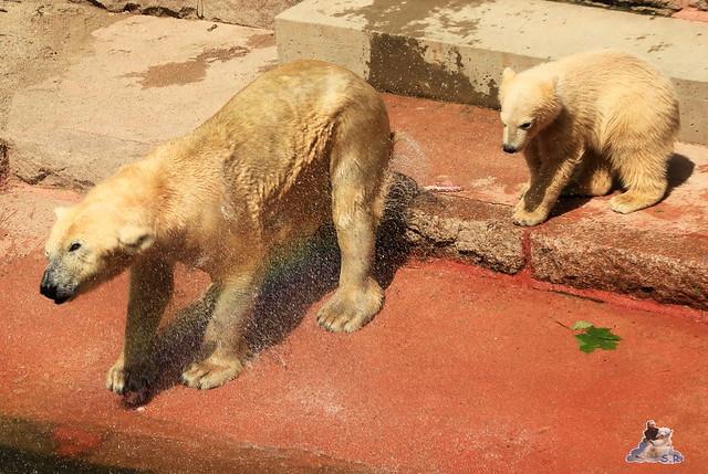 Eisbär Fiete im Zoo Rostock 24.05.2015 253