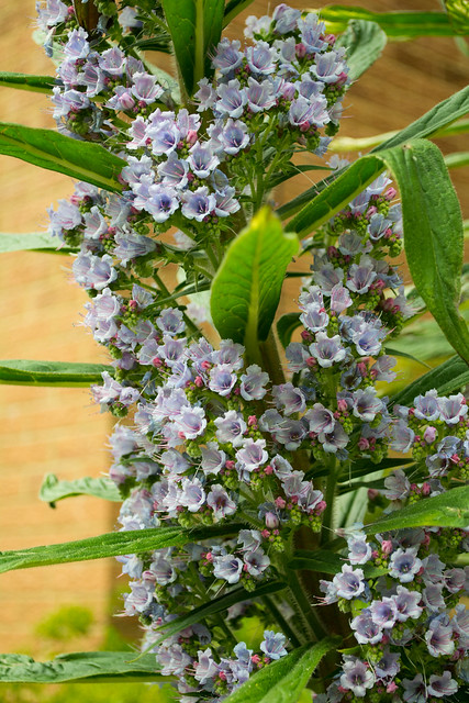 20150523-07_Echium Pininana Plants - Flower Spikes