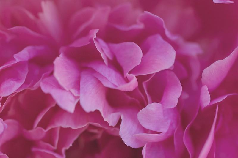 151/365. paeonia officinalis 'dayton'.