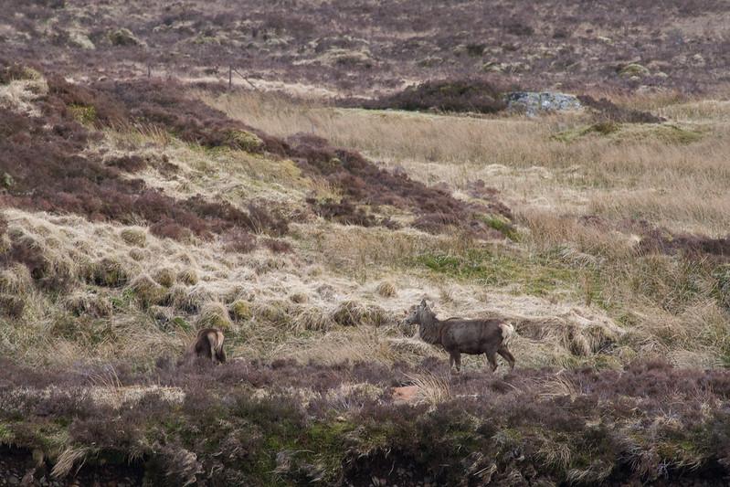Deer in Glen Coe