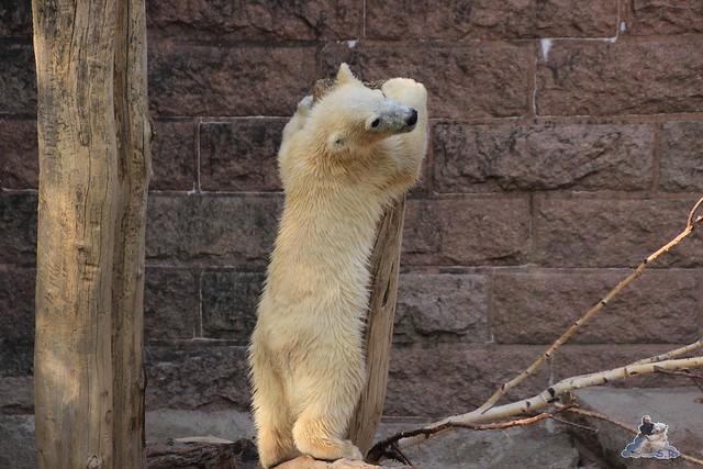 Eisbär Fiete im Zoo Rostock 23.05.2015 272