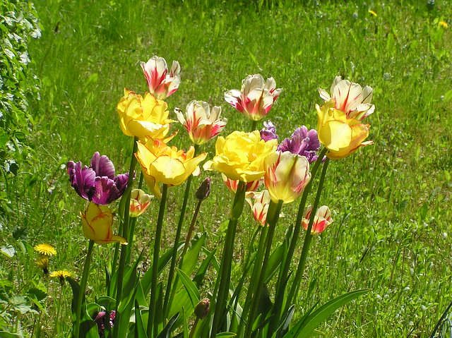 Tulipa 'Mysterious Parrot', 'Flaming Spring Green' & 'Caribbean Parrot'