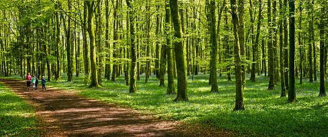 Derreen Wood Bluebells 2015