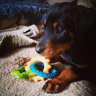 Penny is already one spoiled little lady... She received 2 packages before she even arrived. 😊 Penny thanks her new friends at @chewy for her @nylabone chew rings. #puppygram #rescuedog #dobermanmix #muttstagram #instadog