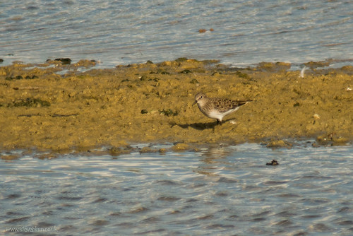Temminck's Stint, Broom GP, 13th May 2015
