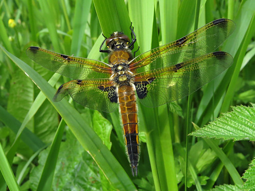 Four-spotted Chaser Libellula quadrimaculata form praenublia Tophill Low NR, East Yorkshire June 2015