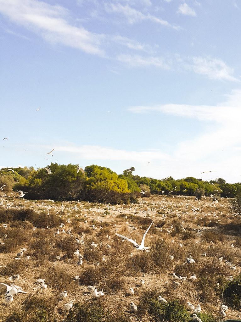 Robben Island seagulls fly