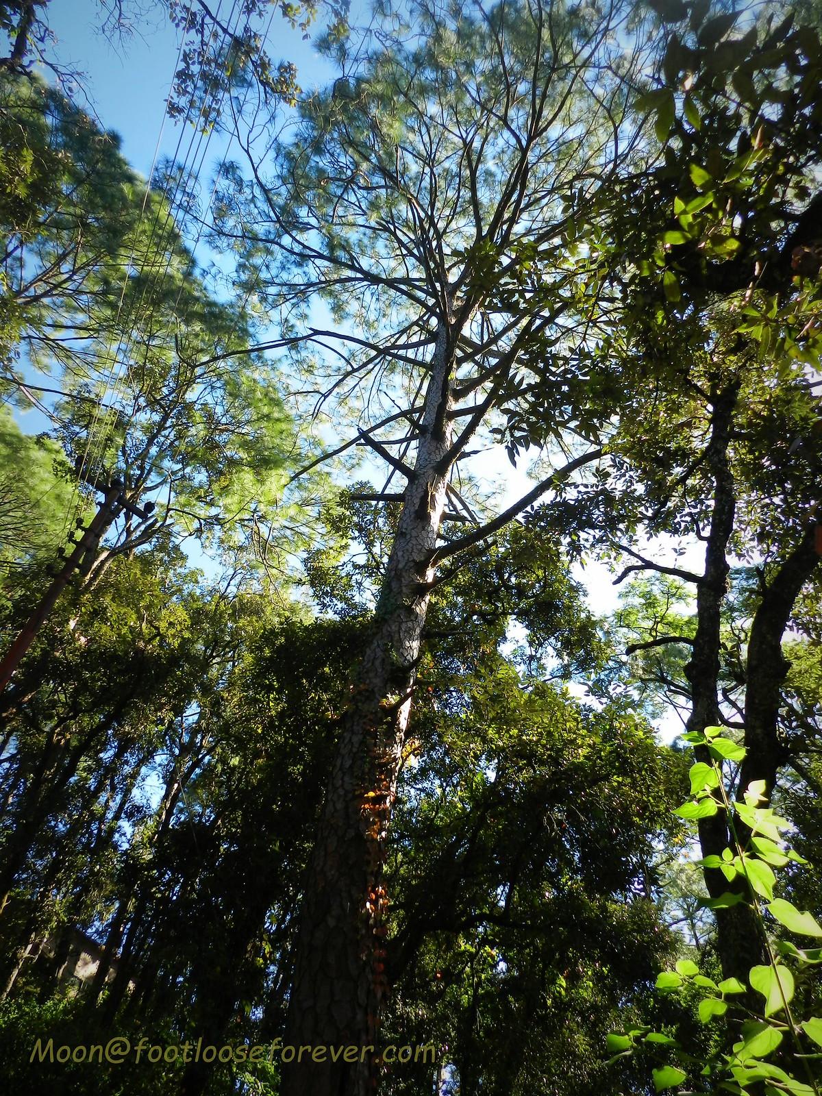 coniferous trees, pine trees, natural canopy, nainital, kumaon