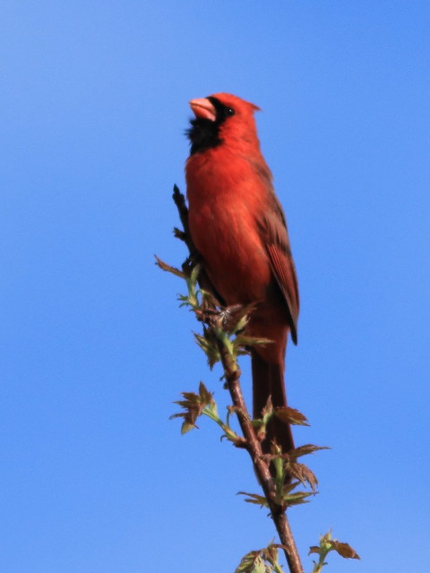 Northern Cardinal 3-20150424