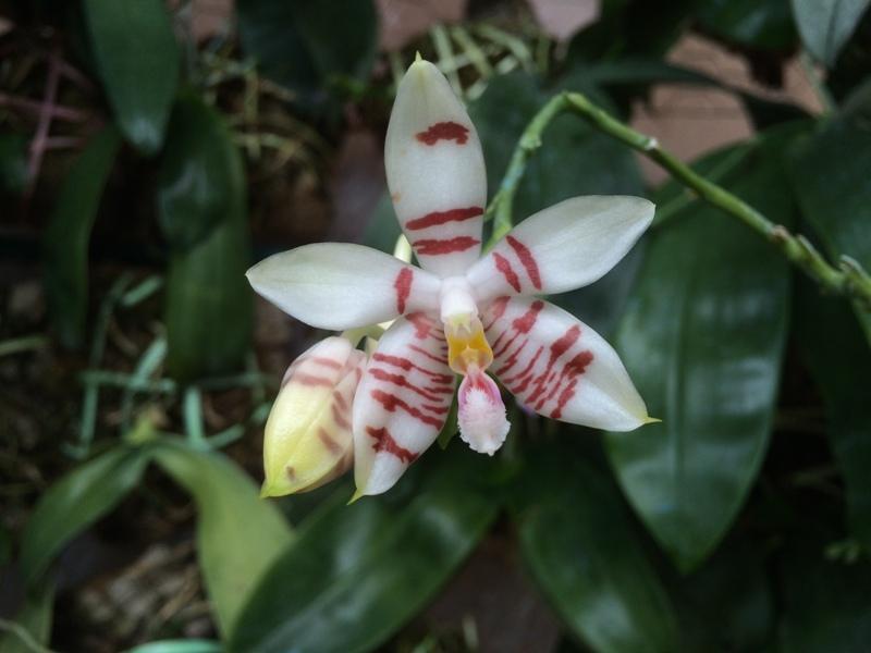 Phalaenopsis Tetrasambo (2015) 17479257102_5f1a62f8e3_o