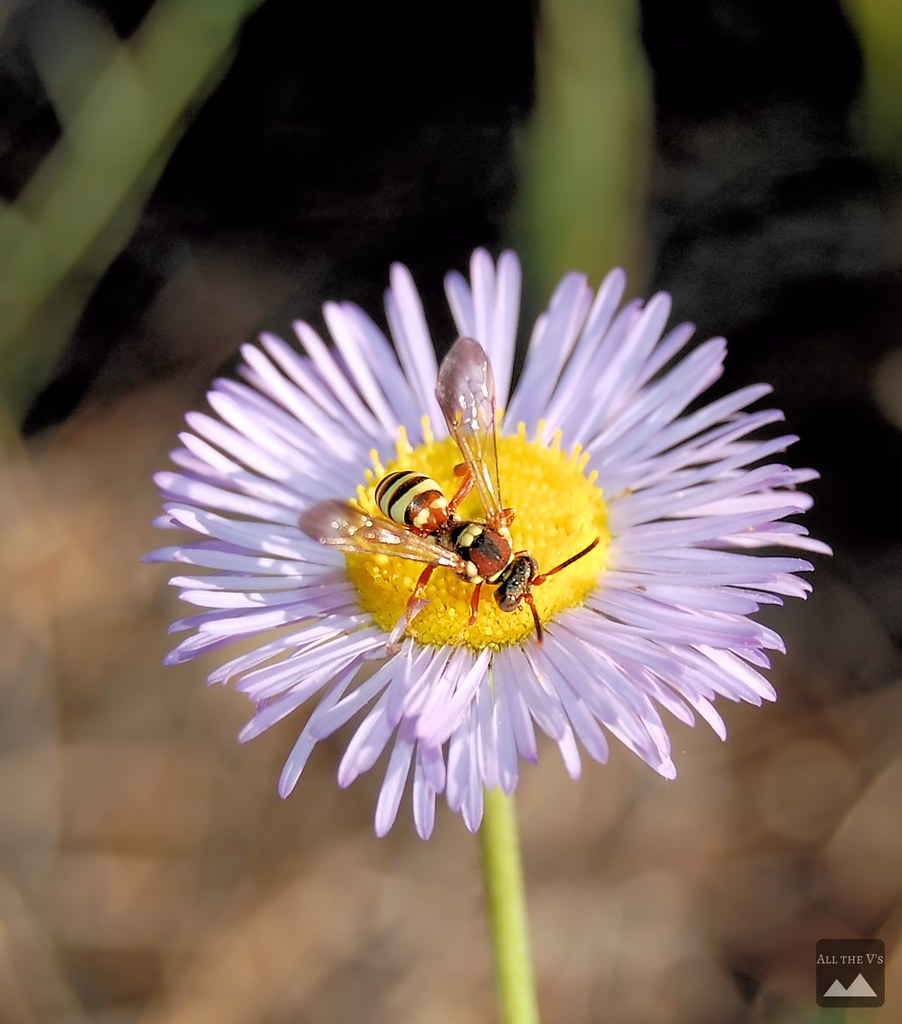 wasp mimic on purple flower