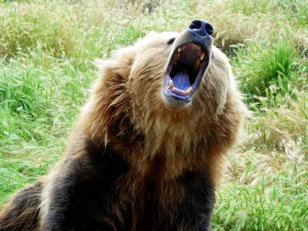 Brown Bear Growling John Solaro Sooolaro Flickr