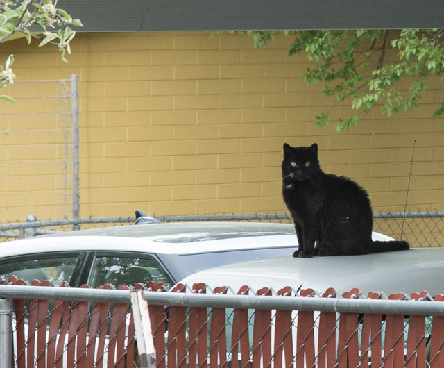 Black Cat on a Car Roof