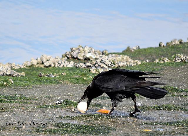 cuervos comiendo huevo de pato
