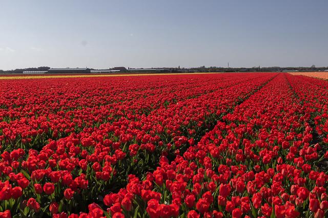 Dutch Tulip Fields