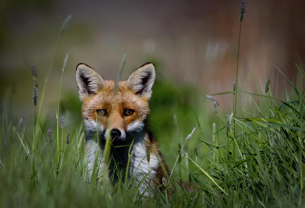 Fox - Coney Meadows