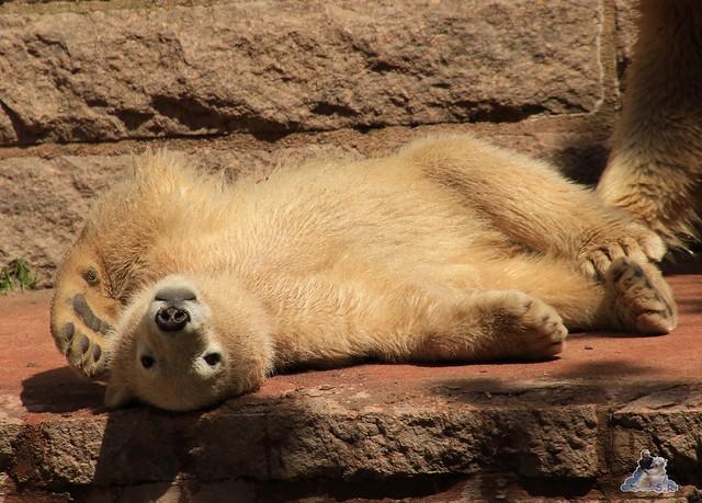 Eisbär Fiete im Zoo Rostock 24.05.2015 126