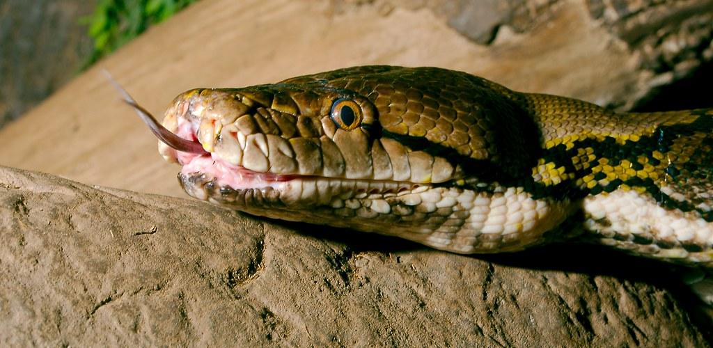 Reticulated Python_1