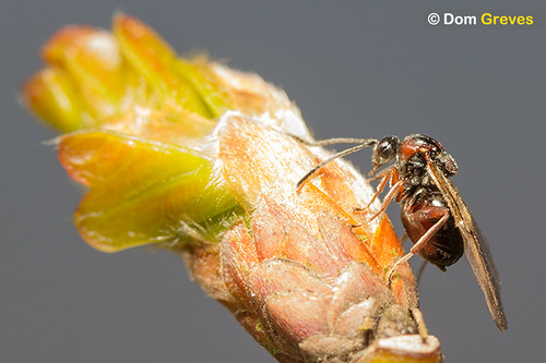 Oak Gall Wasps VI