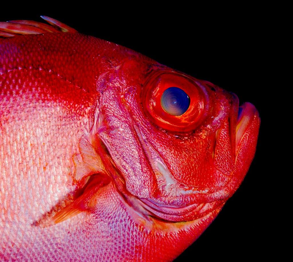 Popeye Catalufa Soldierfish (Pristigenys serrula)