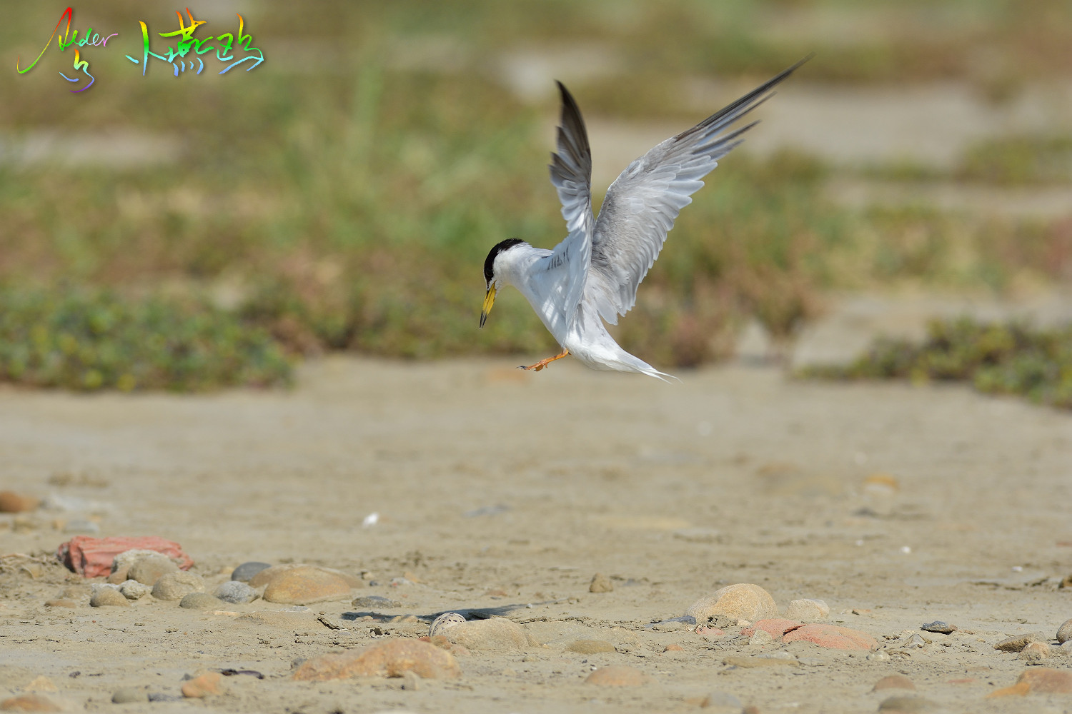 Little_Tern_2504