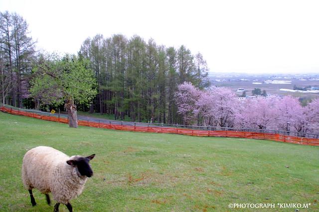 さくらと羊